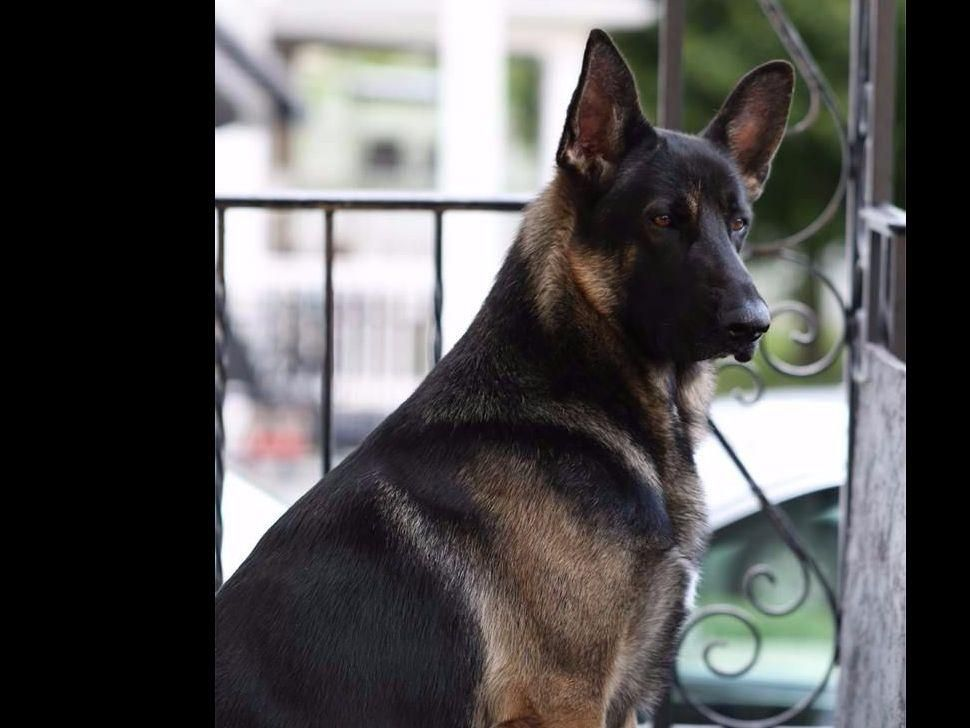 Loyalville has german shepherd dog puppies for sale in