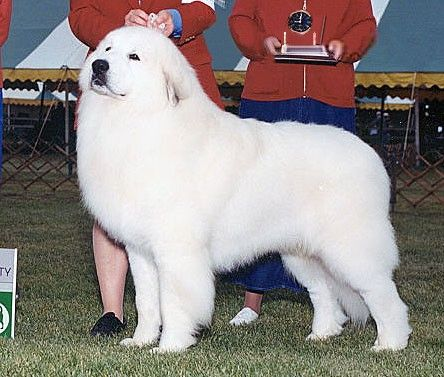 Champion Rivergrove S Kendall Jackson Great Pyrenees Champion Of