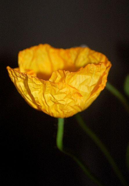 yellow poppy by flowerpress, via Flickr