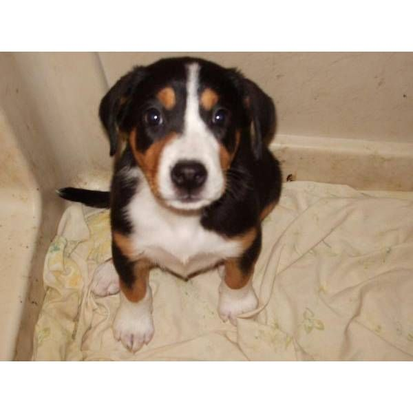 Greater Swiss Mountain Dog puppy in NYC 20 weeks old $1200 ...