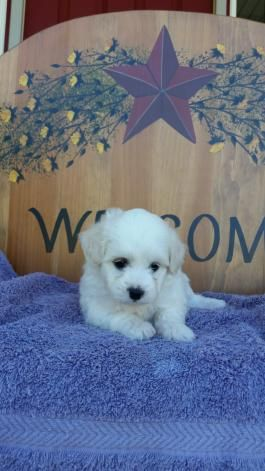 Maltipoo Puppies For Sale Lancaster Puppies To Do List