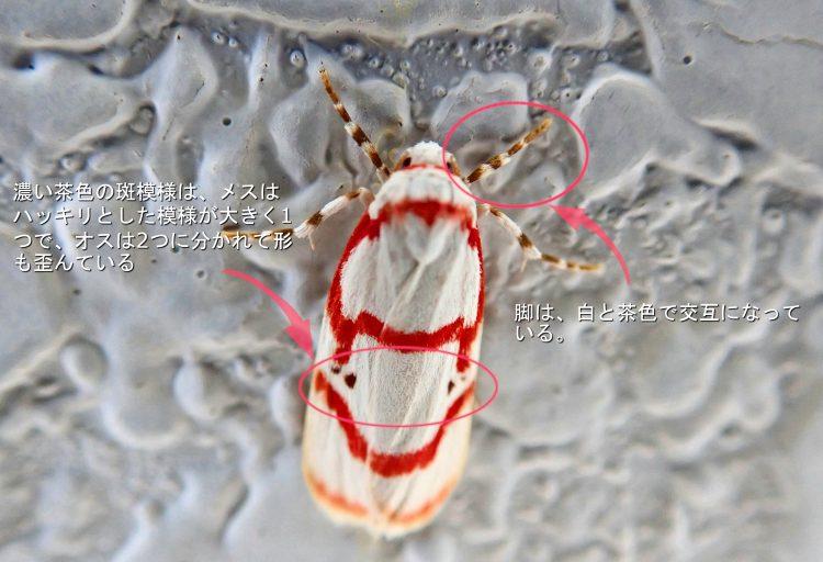 アカスジシロコケガ 蛾 虫