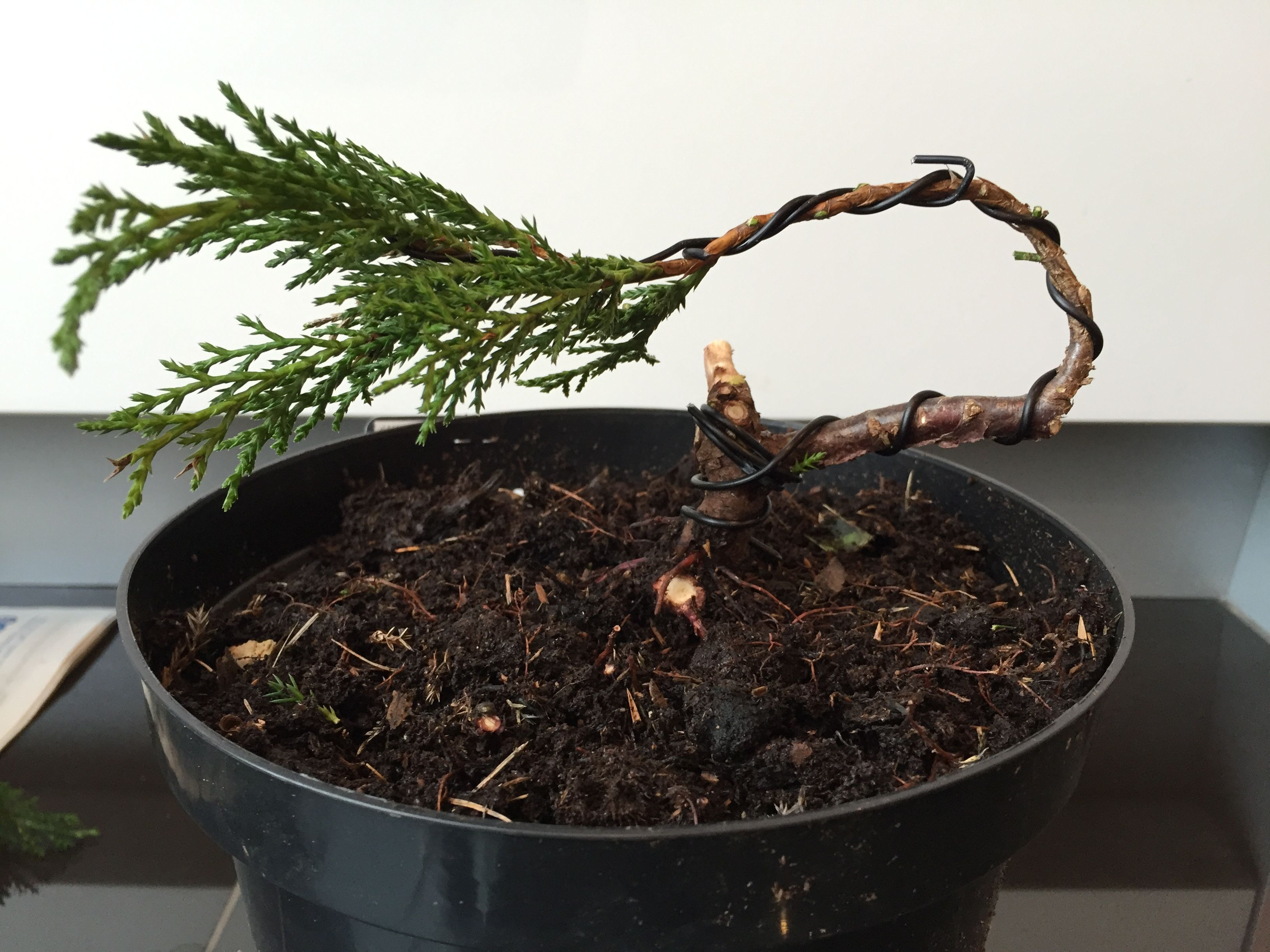 sabina juniper bonsai nursery stock tree after initial pruning and rh pinterest com Weeping Willow Bonsai Weeping Willow Bonsai