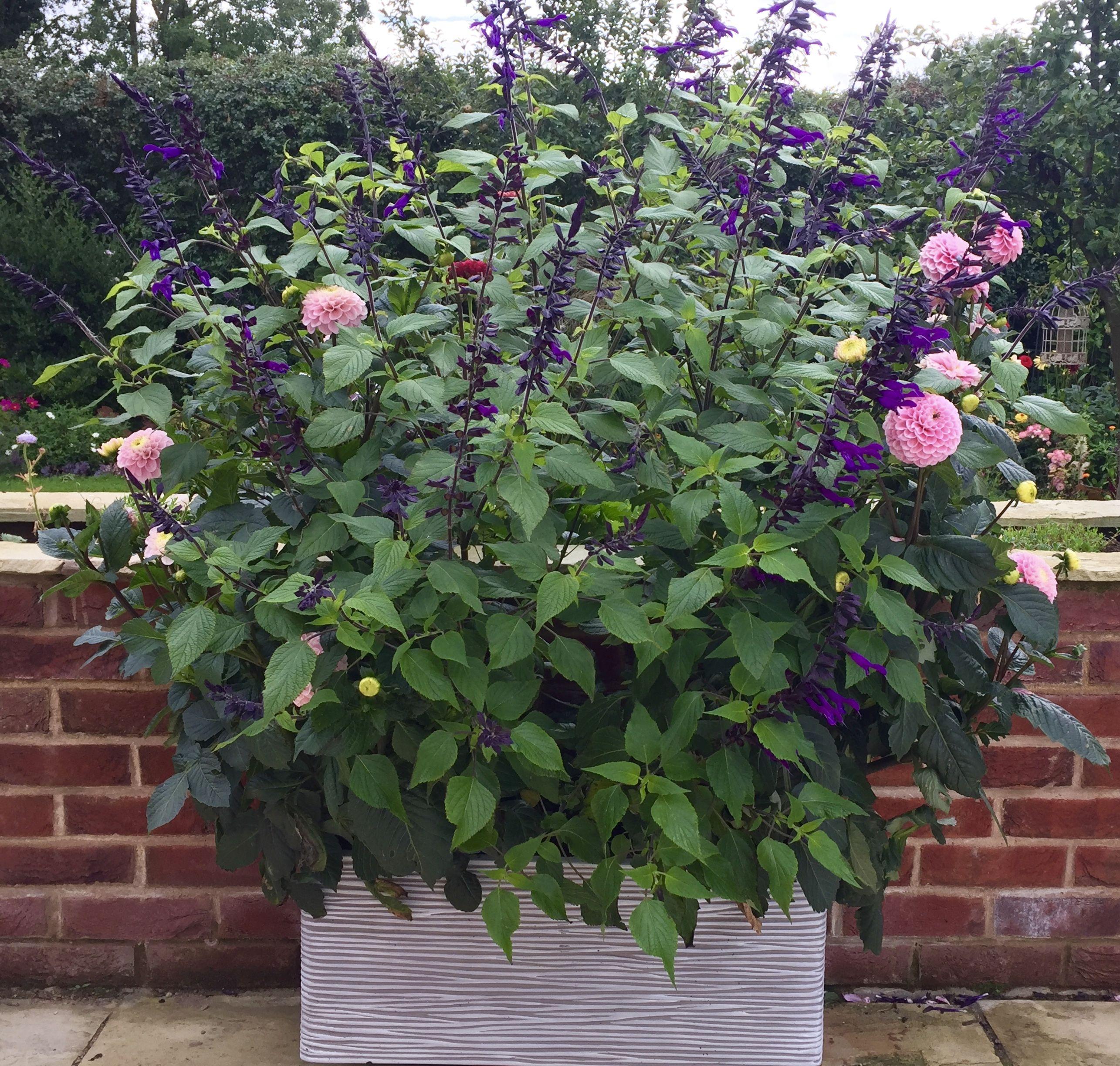 Dahlia Wizard Of Oz And Salvia Amistad Garden Pots Plants Container Plants