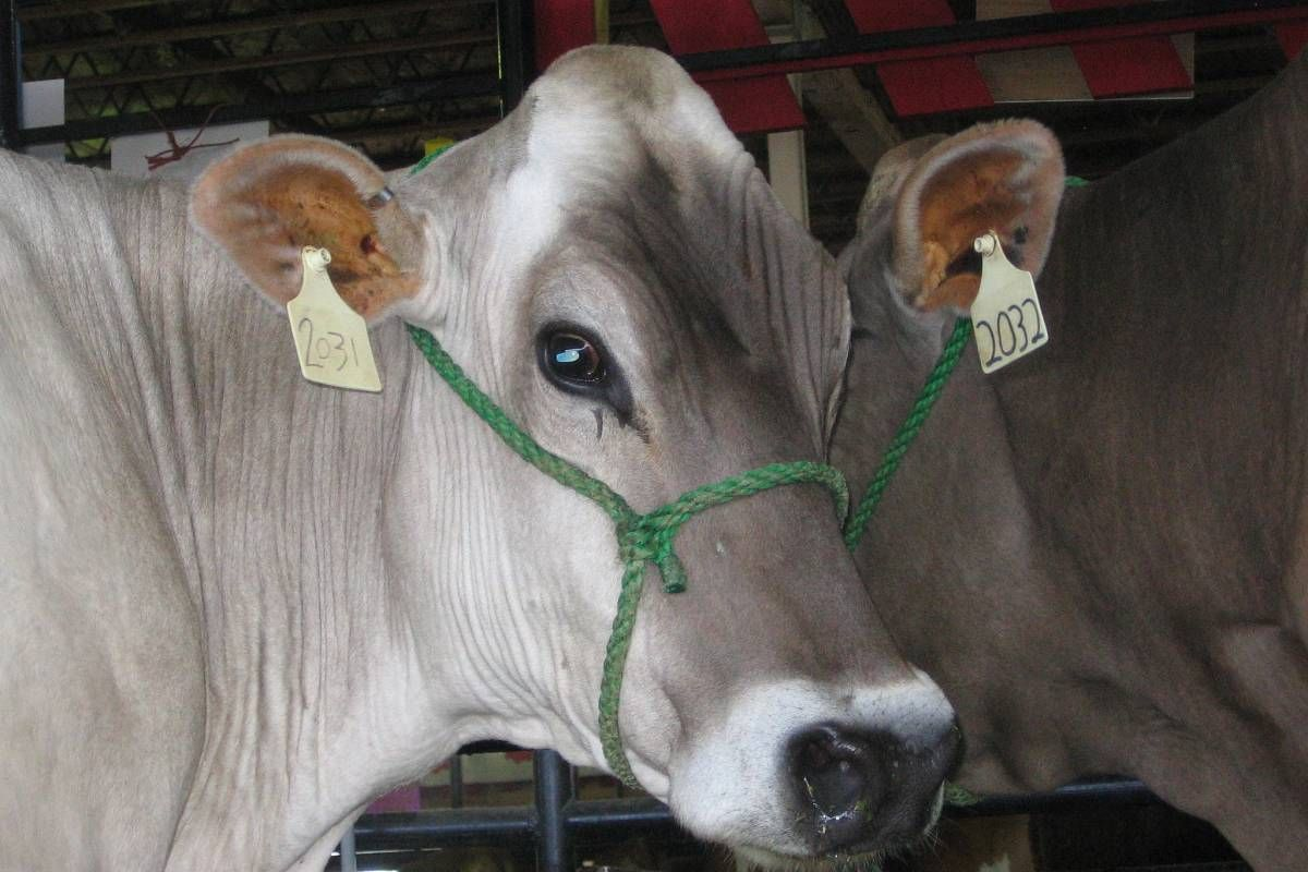 Pin by Jim Durham on USA 2 Cattle Breeds Popular breeds
