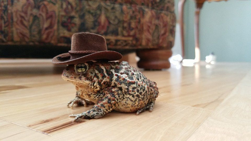 f036bc091 My American Toad wearing a cowboy hat. : mildlyinteresting | Animal ...