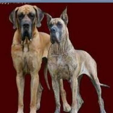 Video Akc Great Dane Fawn Puppies Health Guarantee Great Dane Fawn Great Dane Large Dog Breeds