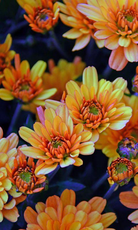 Chrysanthemum Chrysanthemum Flower Yellow Chrysanthemum Amazing Flowers
