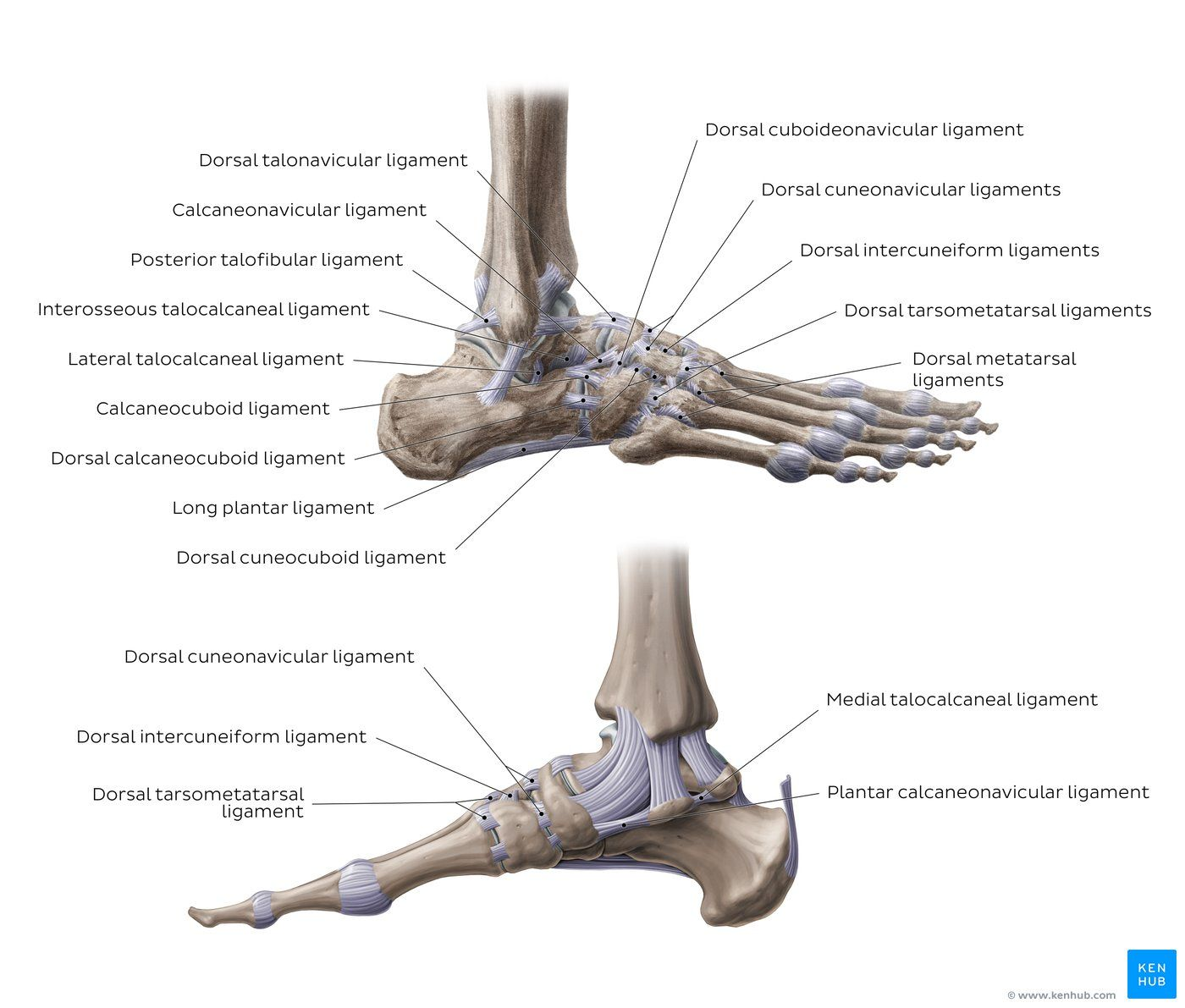 hight resolution of diagram pictures ligaments of the foot anatomy kenhub
