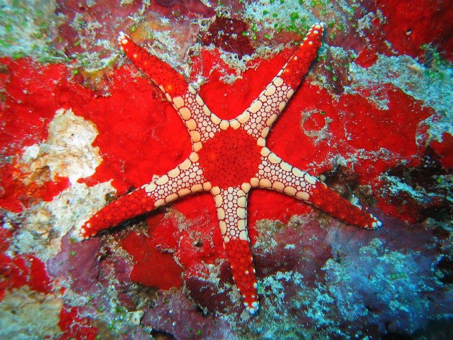 Necklace Starfish (Fromia monilis) This jewellike