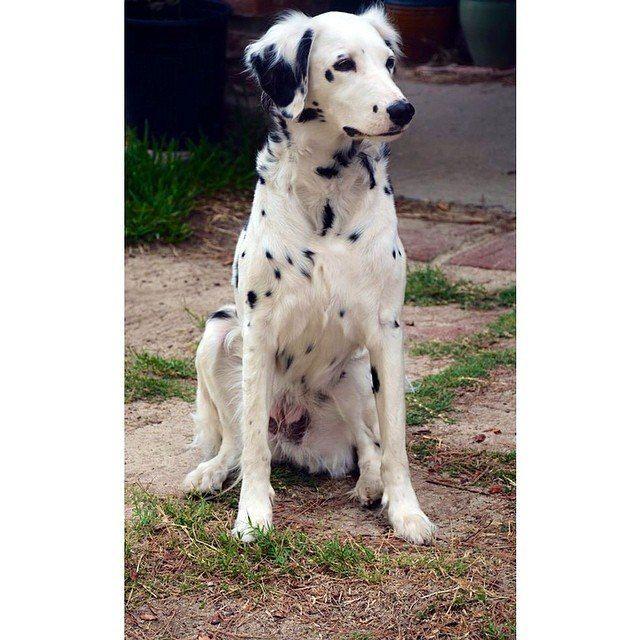 Long Hair Dalmatian Domestic Dog Dalmatian Pet Dogs