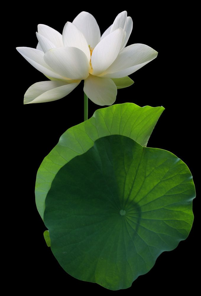 White lotus Flower and backlit leaves