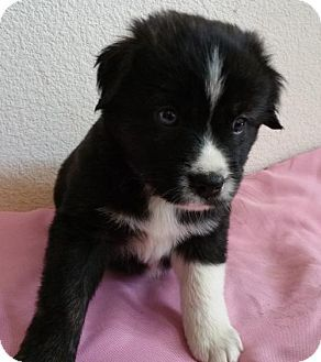 Stockton Ca Border Collie Australian Shepherd Mix Meet Cinders A Puppy For Pets Kitten Adoption Border Collie