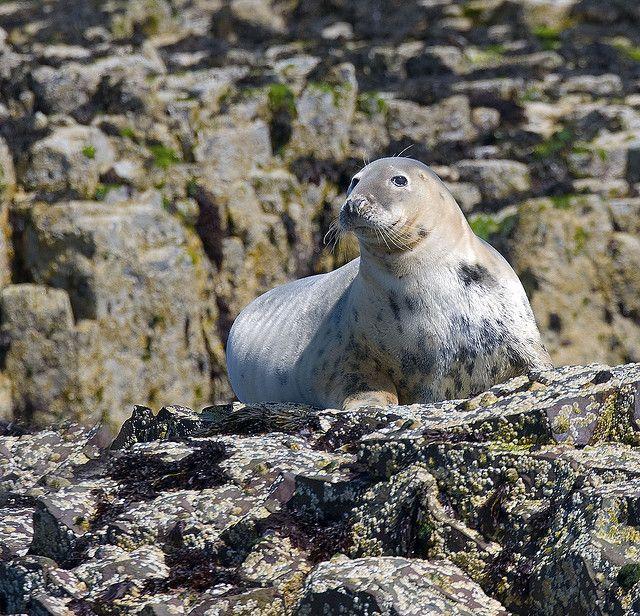 Seal ( Phoca vitulina ) by markmolloy, via Flickr