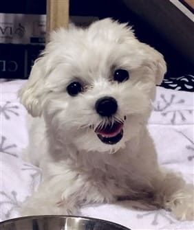 Tips For Feeding Your Maltese Puppy A Healthy Diet Maltese