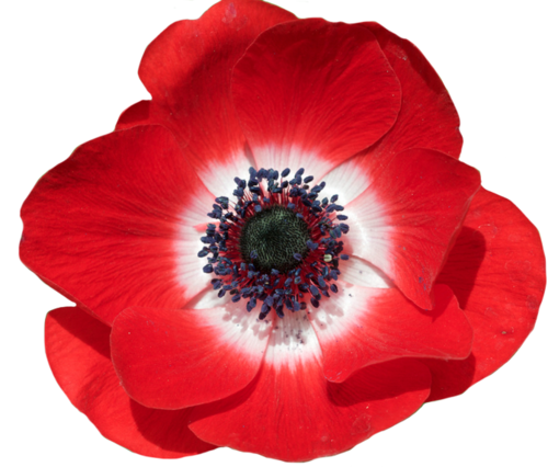 An Entry From Transparent Flowers Powered By Tumblr Com Transparent Flowers Flowers Anemone Flower