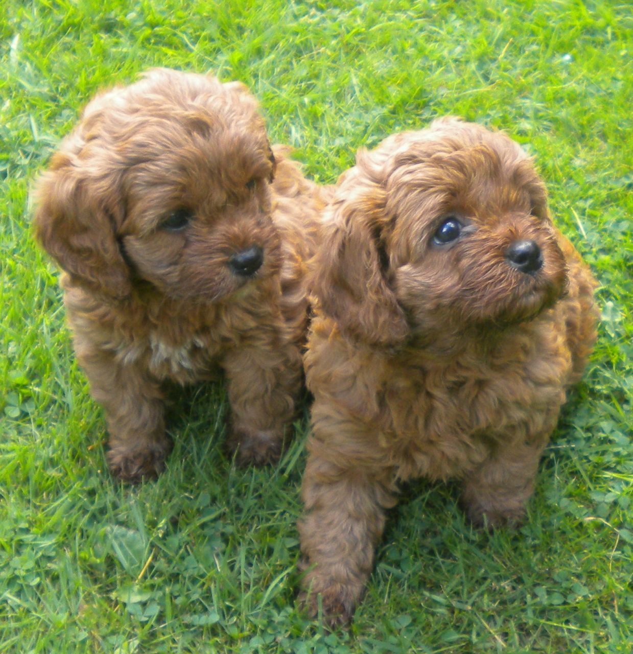 Beatiful Fox Red Cavapoo Puppies Doncaster South Yorkshire Cavapoo Puppies Cavapoo Cavapoo Puppies For Sale