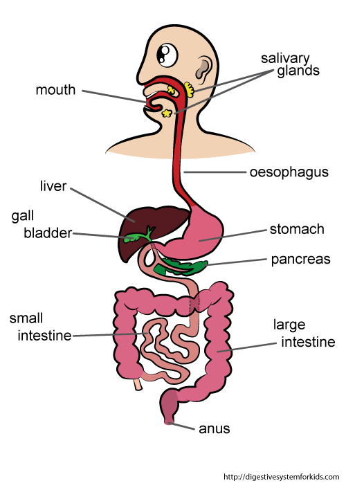 Which Of The Following Is An Accessory Organ Of Digestion Digestive System Project  Teaching Human Body  Digestive System