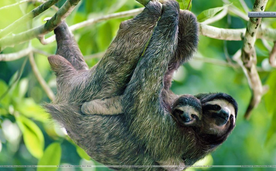 Sloth HD Wallpaper Baby sloth, Sloth photos, Rainforest