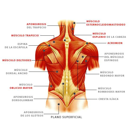 anatomia musculos de la espalda - Buscar con Google … | Anatomía…