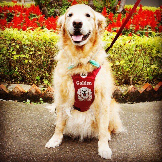 午安黃金Momo迫不及待換上新胸背出門散步啦啦啦 The best dog harness ever. Looks cute breathes well and feels super comfortable! #golden #goldenretriever #bigdog #puppy #cutedog #retriever #dogoftheday #instadog #doglover #harness #dogharness #dogleash #reflective #cute #lovely #goodmood #walkingthedog #smile #happy #黃金獵犬 #安全Plus系列反光胸背 #胸背 #客製化 #goldenpuppy #ninkypup #ninkypup反光胸背牽繩 by ninkypup