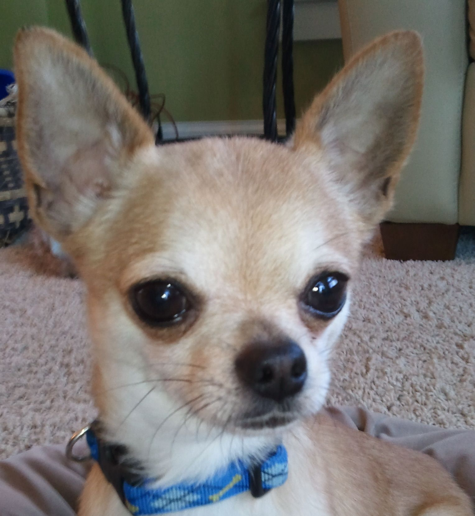 Adopt Rocky Adopted On With Images Cute Chihuahua Chihuahua Dogs Chihuahua