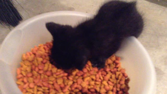 Awen Darkling Baby Trying To Eat Hard Food For The First Time Listen To His Determination Please Turn Sound On Cute Cat Gif Food Animals Pretty Cats