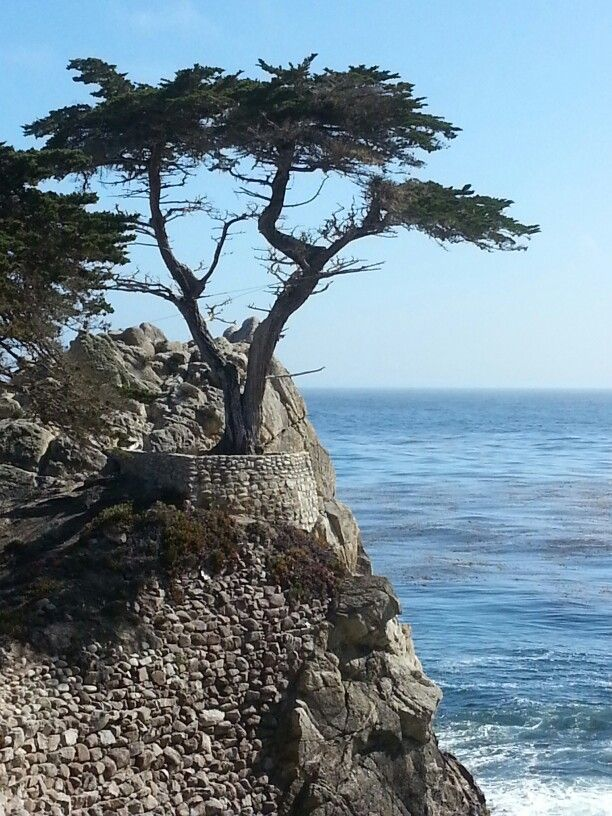The Lone Cypress along 17 Mile Drive Pebble Beach Nor Cal I