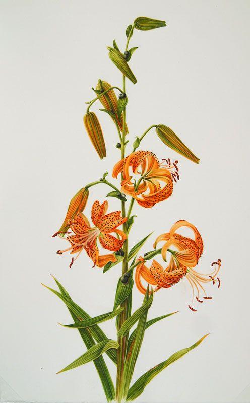 Tiger Lily Botanical Illustration Google Search