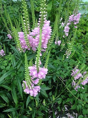 Obedient Plant Crown Rose False Dragon Head Perennial Heirloom 15 Seeds 2015 Plants Obedient Plant Perennials