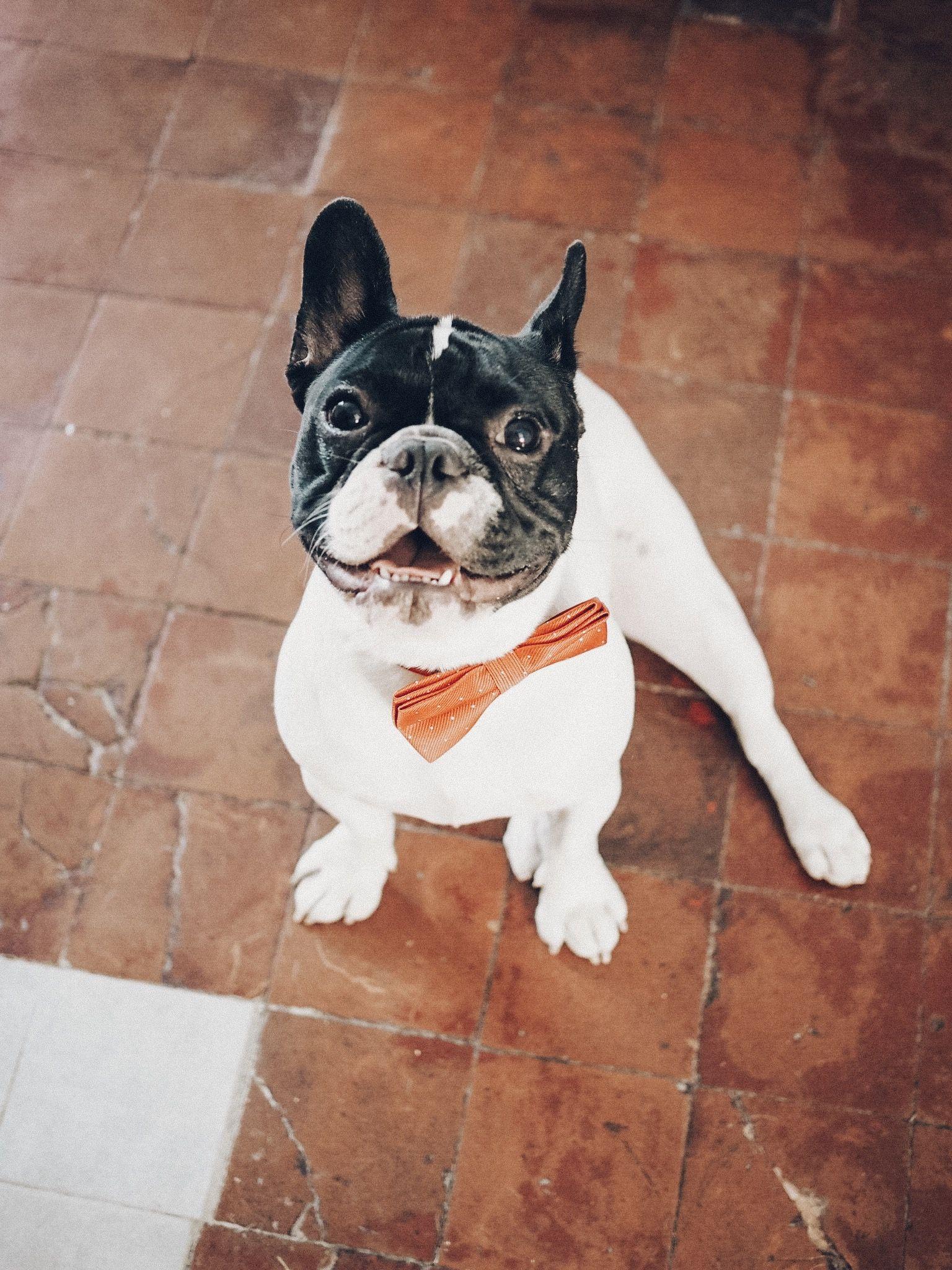 French bulldog french bulldog road trip uk boston terrier