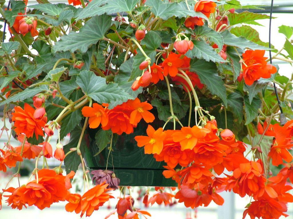 Trailing Begonia Seeds Illumination Orange Hanging Plants Hanging Flower Baskets Hanging Plants Diy