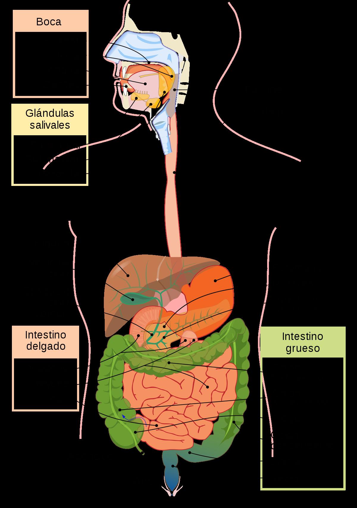 Digestión - Wikipedia, la enciclopedia libre | medicina en 2018 ...
