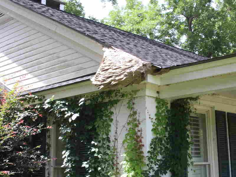 Watch Out For Wasps Massive Yellow Jacket Nests Spotted In Alabama Yellow Jacket House Siding Largest Number