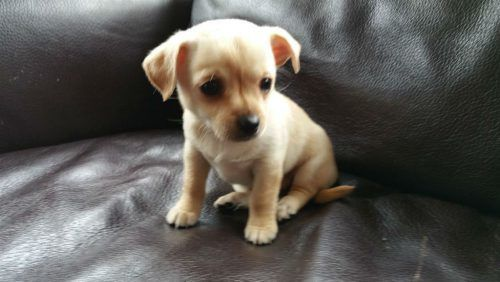 Beautiful Cute And Cheeky Chihuahua Jack Russell Cross Puppies Pets For Sale In The Uk Puppies Pets Cute Dogs