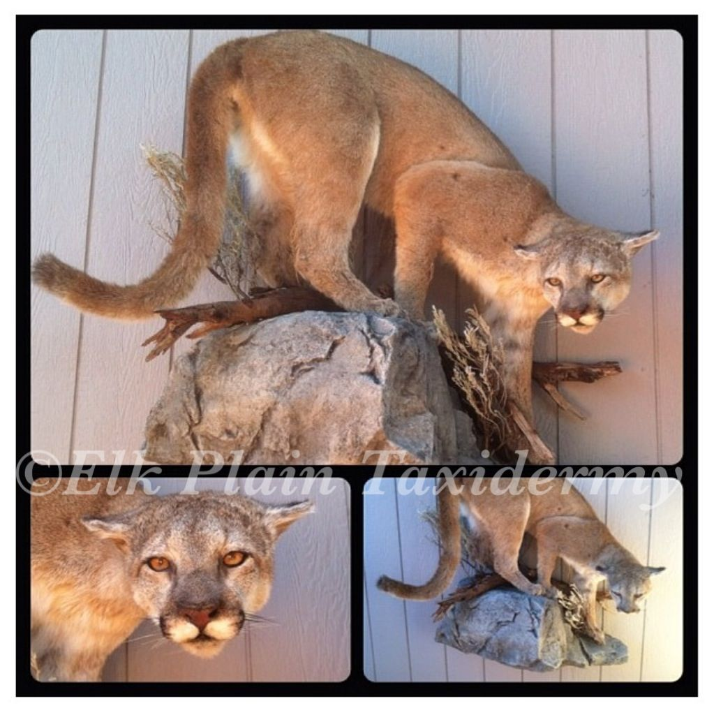 Life size female mountain lion. Mounted by Elk Plain Taxidermy- Elk ...