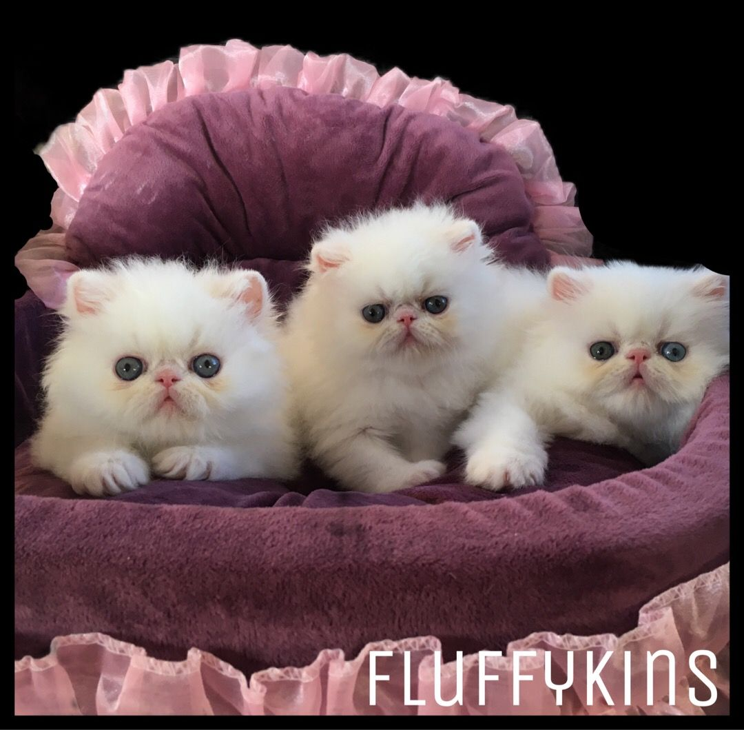 Whitecats Whitepersians Coppereyes Coppereyedwhitepersian Thedailykitten Kittens Catsofinstagram Cats Kittensof With Images Baby Cats Kitten Breeds Kittens Cutest