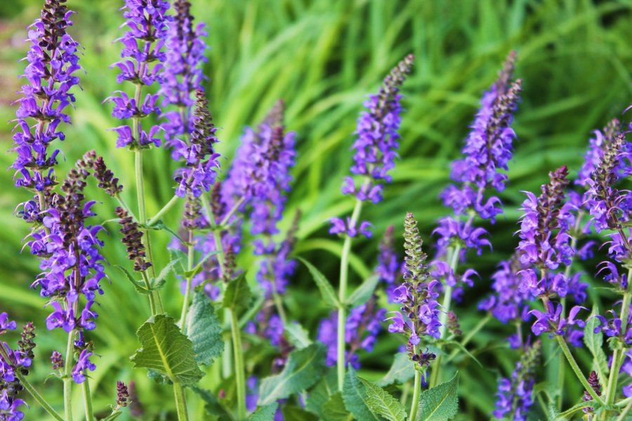 weeds with purple flowers be sure to visit gardenanswers