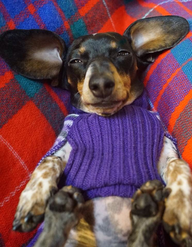 Turkey Coma Dachshund Love Funny Dog Pictures Dog Life