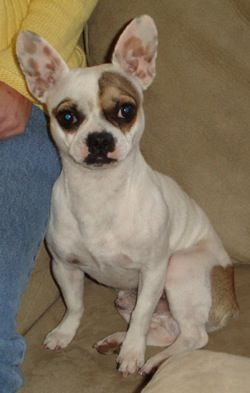 Chihuahua French Bulldog Mix Where Does The Coloring Come From