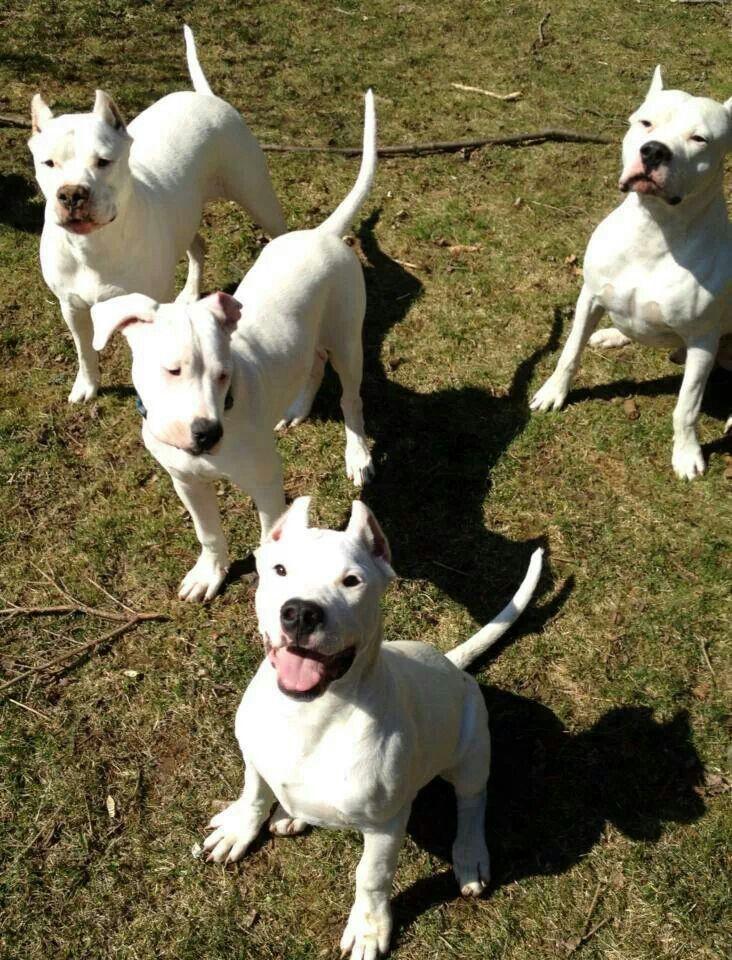 Pin By Ashley Hudson On Dogo Argentino Dog Argentino Dog Personality Beautiful Dogs