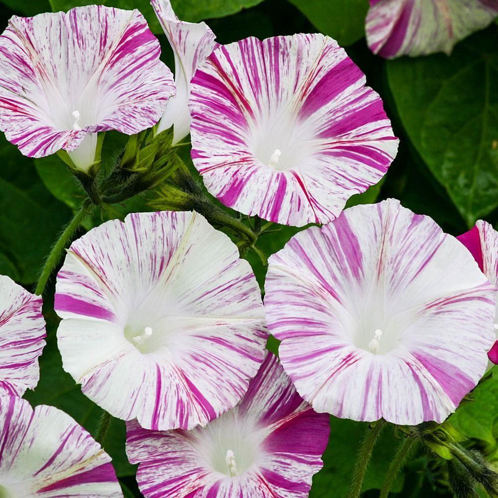 Gurney's Venice Pink Morning Glory Flower Seeds (10 Seed