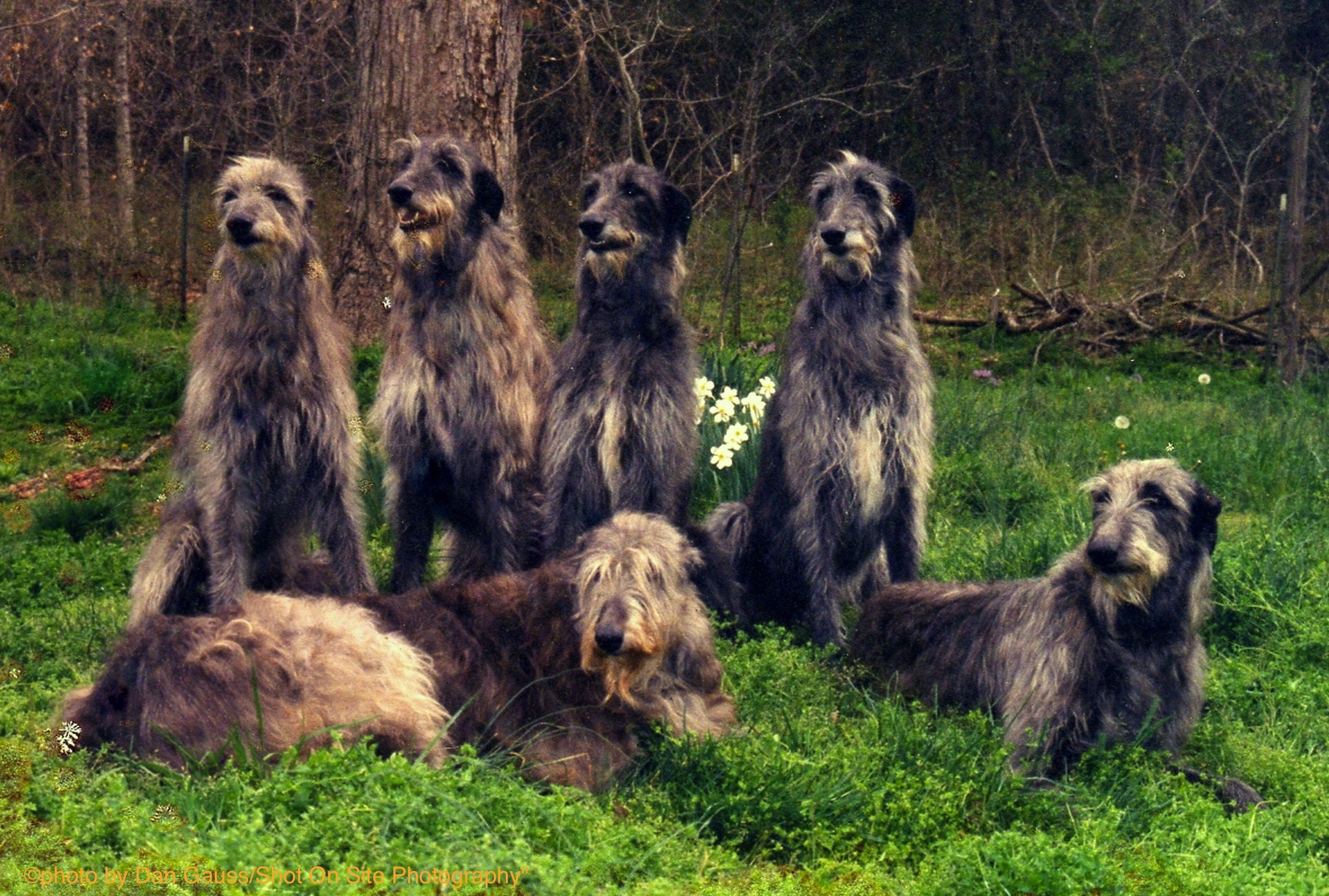 Sitting Group (Five deerhounds and a wolfhound in left