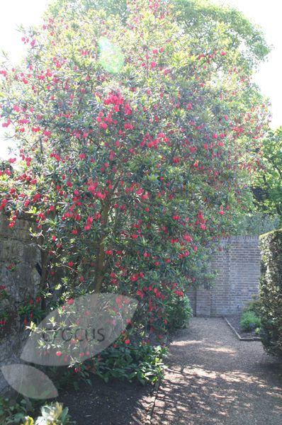 Crinodendron Hookerianum Lantern Tree Small Trees For Garden Small Garden Garden Trees