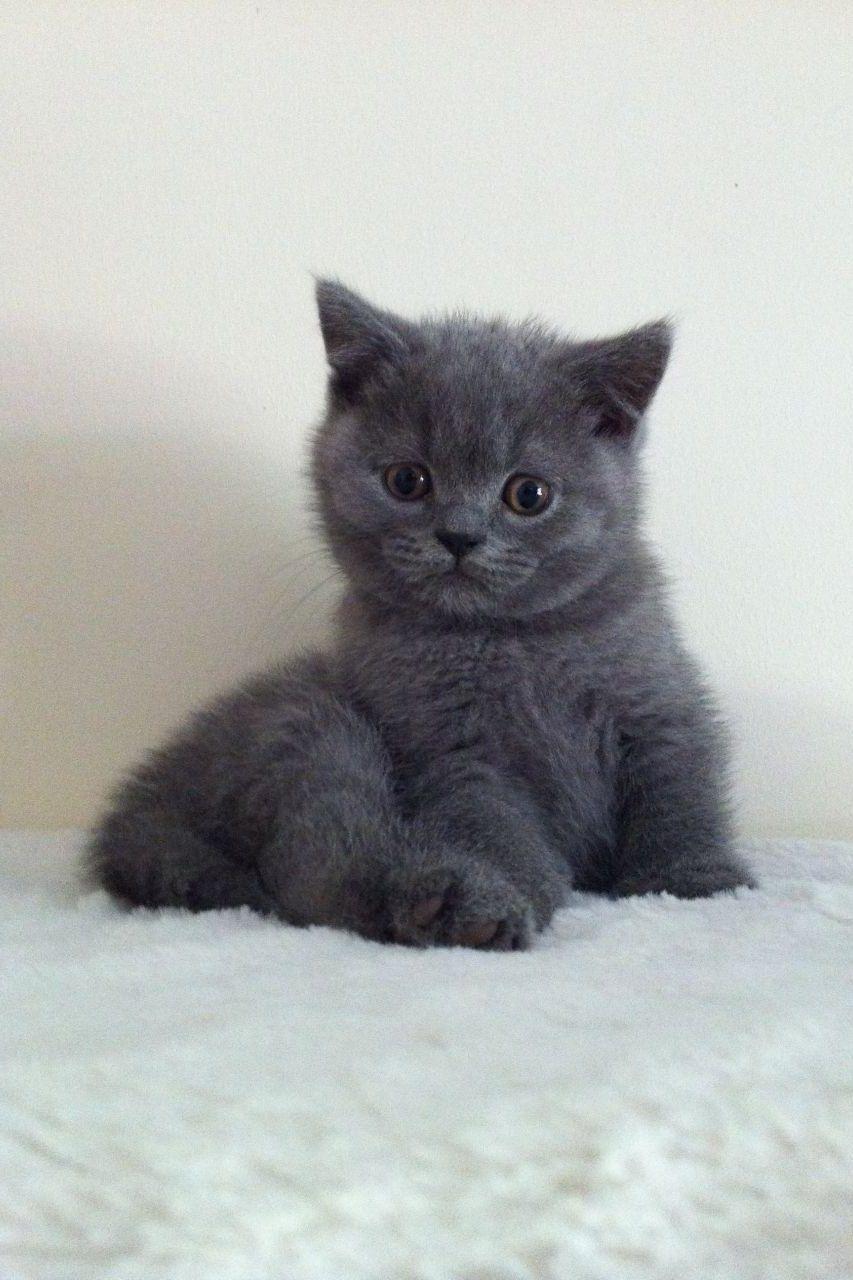 British Shorthair 25 Cute British Shorthair Photos Life Criters In 2020 Cute Cats And Kittens British Shorthair British Shorthair Cats