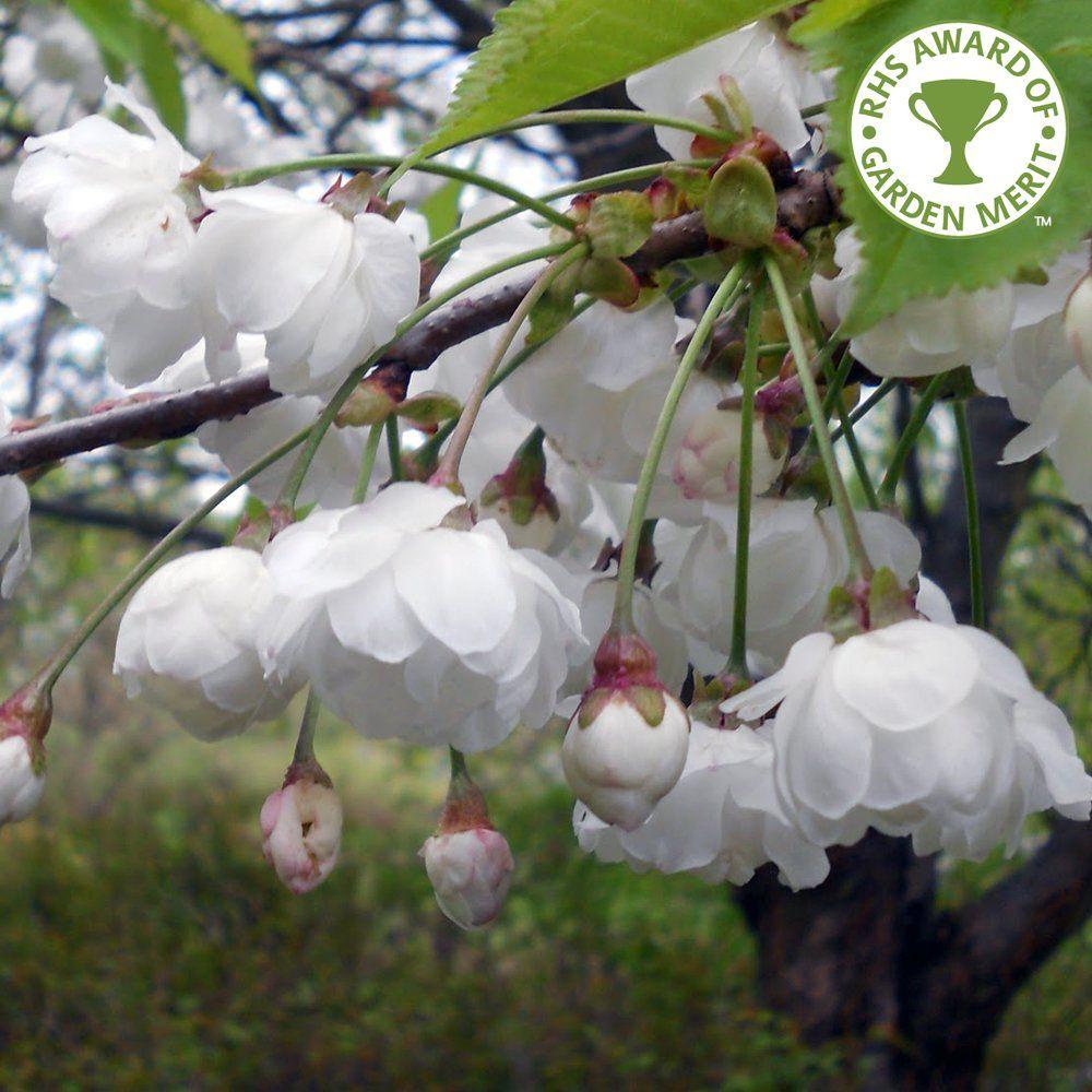 Pix for dwarf ornamental cherry tree gardening pinterest pix for dwarf ornamental cherry tree mightylinksfo