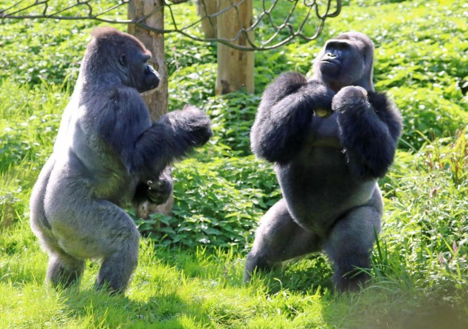 Gorillas chest-beating boxing match caught on camera at zoo