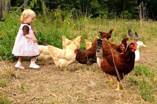 walking the chicks...