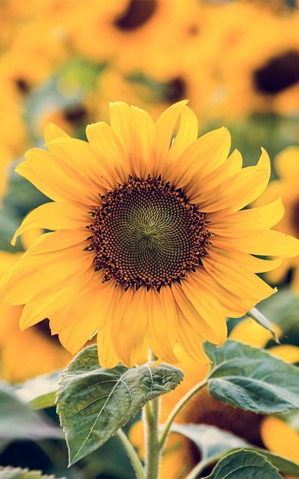 Sunflower Sunrise Wallpaper   Sunflower Field Design   MuralsWallpaper