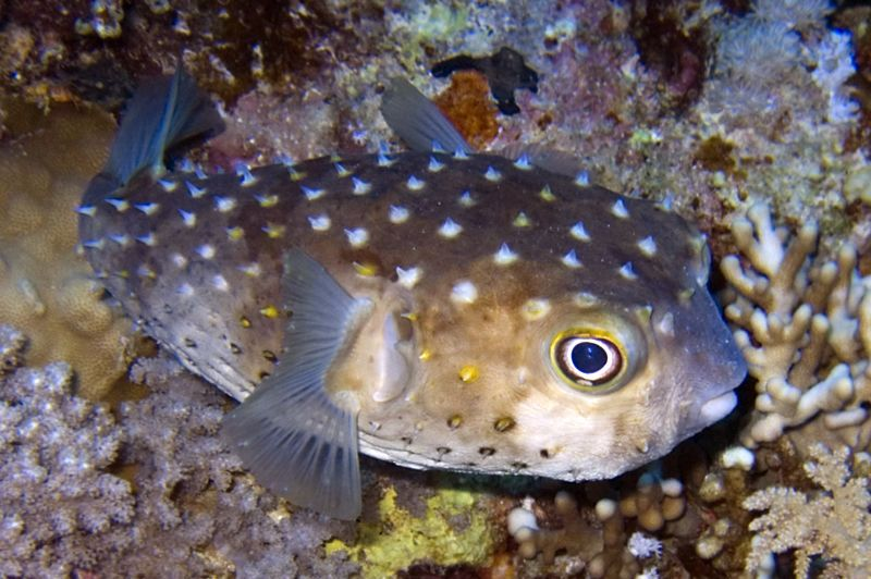 Spotbase Burrfish Cyclichthys Spilostylus Other Names Spot Base Burrfish Yellowspotted Burrfish Marine Fish Fish Pet Species